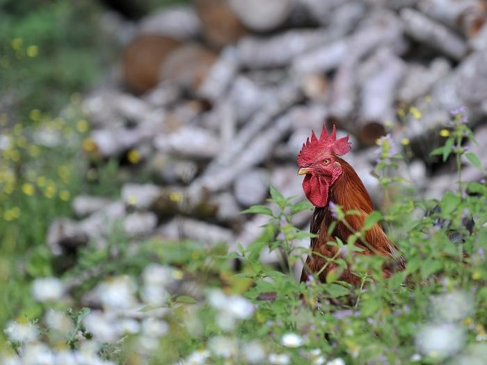 Coq en Aveyron